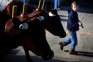 His oxen